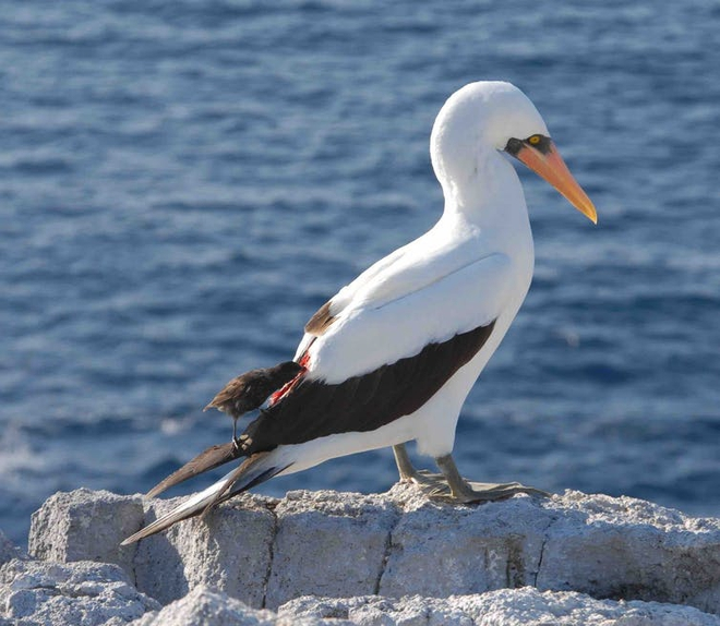 Bằng chứng nghiệt ngã của tiến hóa: Chim sẻ cũng phải trở thành loài hút máu để tồn tại - Ảnh 3.