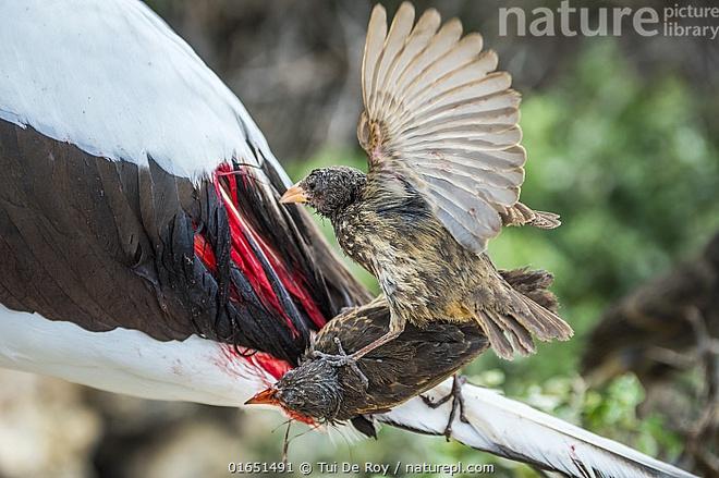 Bằng chứng nghiệt ngã của tiến hóa: Chim sẻ cũng phải trở thành loài hút máu để tồn tại - Ảnh 1.
