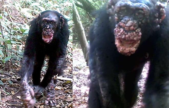 Bệnh phong lần đầu tiên được phát hiện trên loài tinh tinh hoang dã - Ảnh 2.