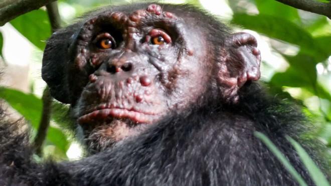Bệnh phong lần đầu tiên được phát hiện trên loài tinh tinh hoang dã - Ảnh 1.