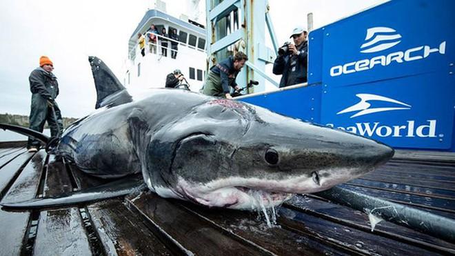 Thế giới đã mất 70% số cá mập chỉ trong 50 năm - Ảnh 1.