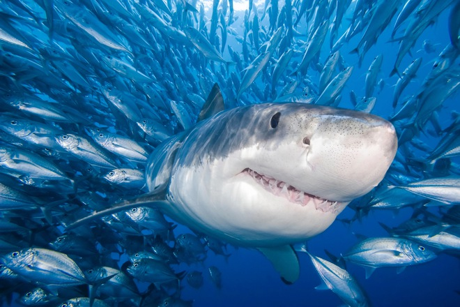 Thế giới đã mất 70% số cá mập chỉ trong 50 năm - Ảnh 2.