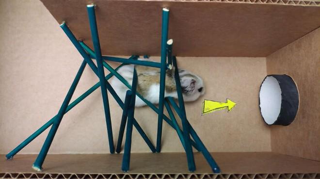 Cưng xỉu với màn giải mã mê cung của chú chuột hamster, vừa đáng yêu vừa gay cấn như series Vượt ngục - Ảnh 3.