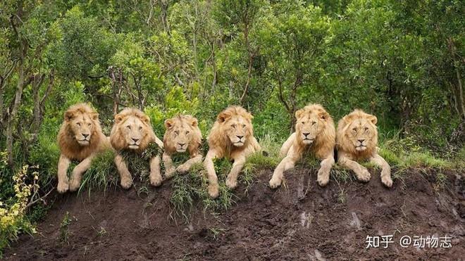 Trong liên minh sư tử, có phải mọi con đực đều có quyền giao phối không? - Ảnh 1.