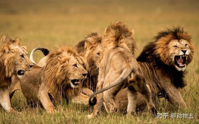 Trong liên minh sư tử, có phải mọi con đực đều có quyền giao phối không? - Ảnh 2.