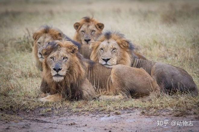 Trong liên minh sư tử, có phải mọi con đực đều có quyền giao phối không? - Ảnh 3.