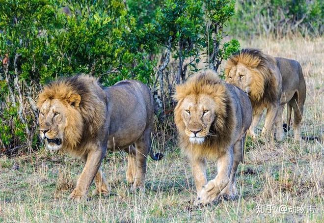 Trong liên minh sư tử, có phải mọi con đực đều có quyền giao phối không? - Ảnh 4.