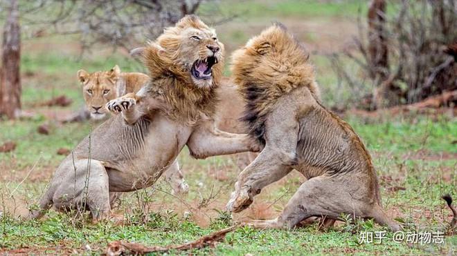 Tại sao sư tử sống thành đàn còn hổ sống đơn lẻ? - Ảnh 7.