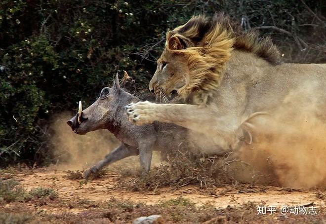 Tại sao sư tử sống thành đàn còn hổ sống đơn lẻ? - Ảnh 6.