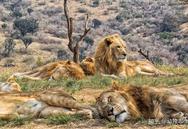 Tại sao sư tử sống thành đàn còn hổ sống đơn lẻ? - Ảnh 2.