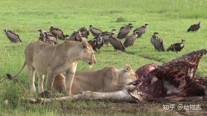 Tại sao sư tử sống thành đàn còn hổ sống đơn lẻ? - Ảnh 5.