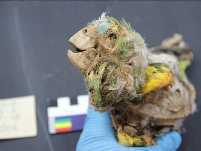 Cuộc đời khốn khổ của những con chim sinh ra ở rừng Amazon và trở thành xác ướp trong sa mạc Atacama - Ảnh 1.