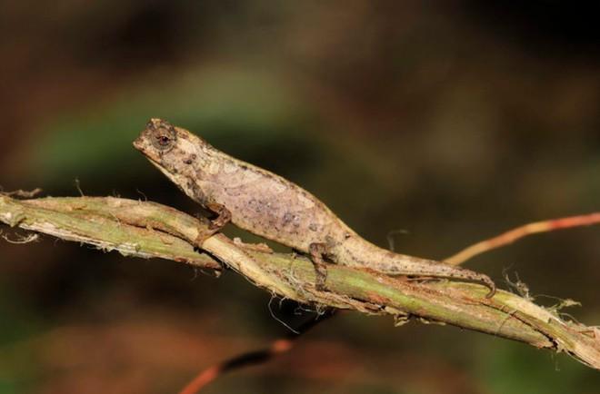 Đây là loài tắc kè hoa nhỏ nhất thế giới, con dài nhất chỉ bằng một đốt ngón tay của người trưởng thành - Ảnh 3.