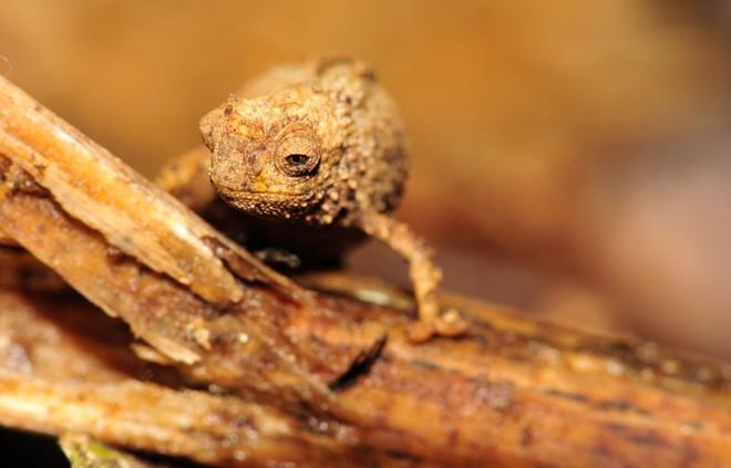 Đây là loài tắc kè hoa nhỏ nhất thế giới, con dài nhất chỉ bằng một đốt ngón tay của người trưởng thành - Ảnh 2.