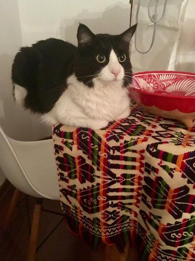 Chùm ảnh vui: Những hành động kỳ lạ đến không tưởng của loài mèo khiến các định luật vật lý trở nên vô nghĩa - Ảnh 16.