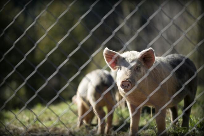 Kinh doanh smartphone ế ẩm, Huawei chuyển sang chăn lợn và đào mỏ - Ảnh 1.
