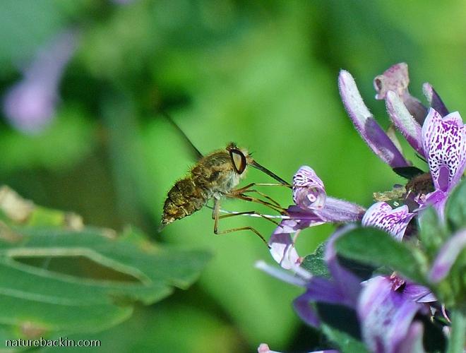 47 triệu năm triệu năm về trước, bữa ăn của con ruồi có những gì? - Ảnh 1.