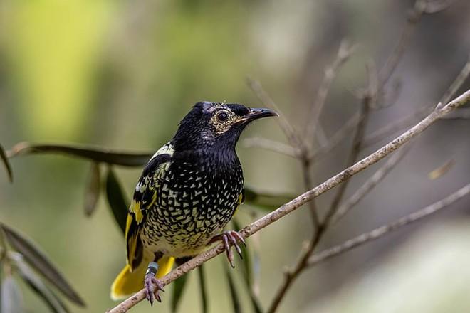 Loài chim quý hiếm này có thể sẽ bị tuyệt chủng vì chúng đã quên mất cách gọi bạn tình trong mùa giao phối - Ảnh 1.