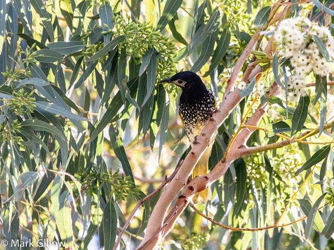 Loài chim quý hiếm này có thể sẽ bị tuyệt chủng vì chúng đã quên mất cách gọi bạn tình trong mùa giao phối - Ảnh 2.