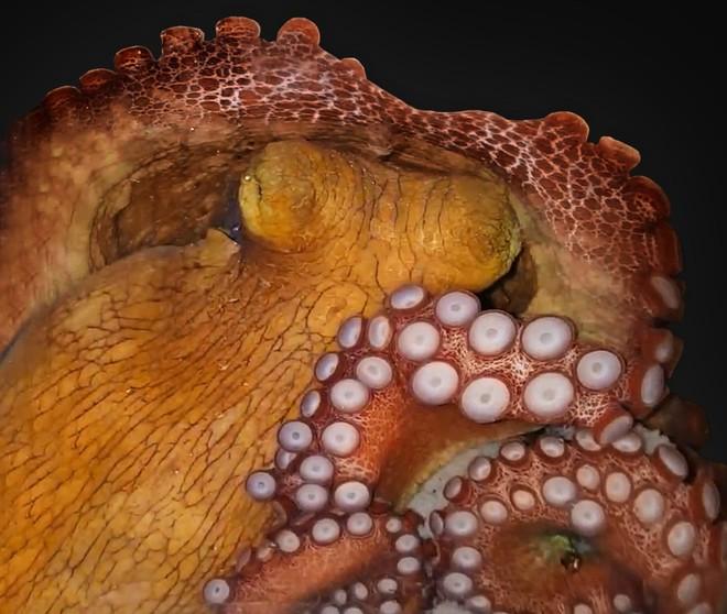 Phát hiện mới: bạch tuộc có thể mơ suốt 2 phút, cơ thể liên tục đổi màu sắc và hình dáng - Ảnh 1.