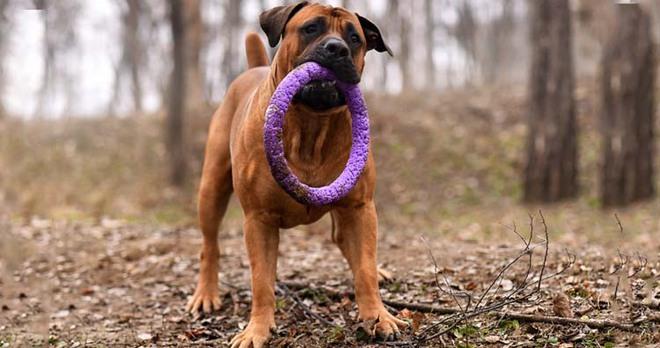 Những giống chó nguy hiểm và bị cấm nuôi nhiều nhất trên thế giới - Ảnh 13.