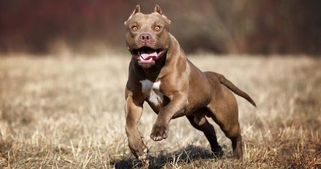 Những giống chó nguy hiểm và bị cấm nuôi nhiều nhất trên thế giới - Ảnh 5.