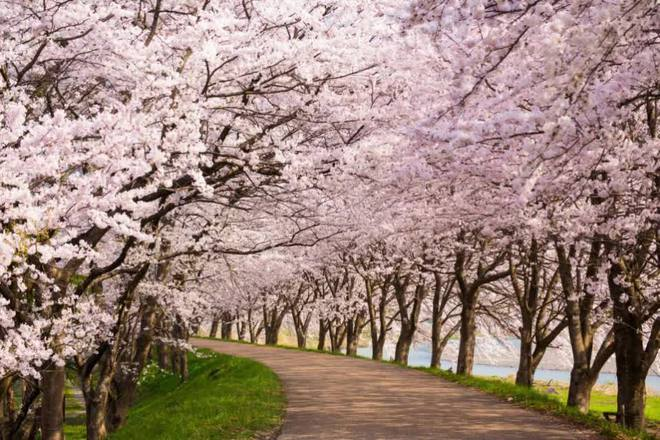 Tác động của biến đổi khí hậu: Hoa anh đào Nhật Bản nở sớm nhất trong vòng 1.200 năm nay - Ảnh 1.