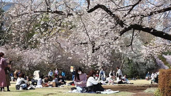 Tác động của biến đổi khí hậu: Hoa anh đào Nhật Bản nở sớm nhất trong vòng 1.200 năm nay - Ảnh 2.