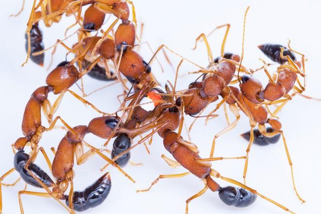 Các nhà khoa học phát hiện loài kiến sẵn sàng giảm kích cỡ bộ não để trở thành kiến chúa - Ảnh 2.