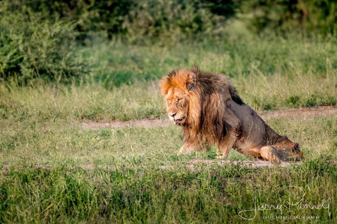 Chùm ảnh: khoảnh khắc cuối đời của vua sư tử Skar từng ngự trị đồng cỏ Nam Phi - Ảnh 1.