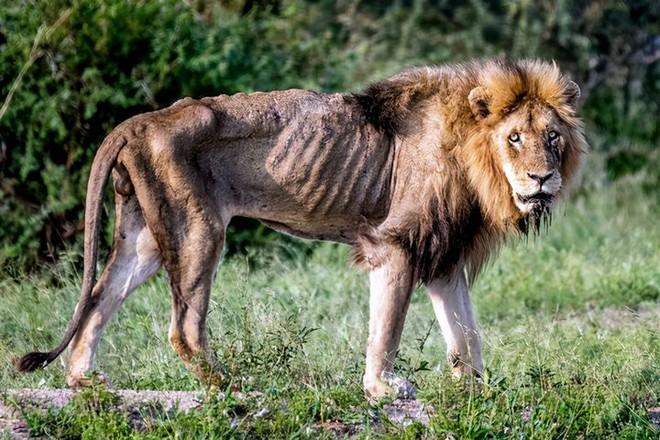 Chùm ảnh: khoảnh khắc cuối đời của vua sư tử Skar từng ngự trị đồng cỏ Nam Phi - Ảnh 2.