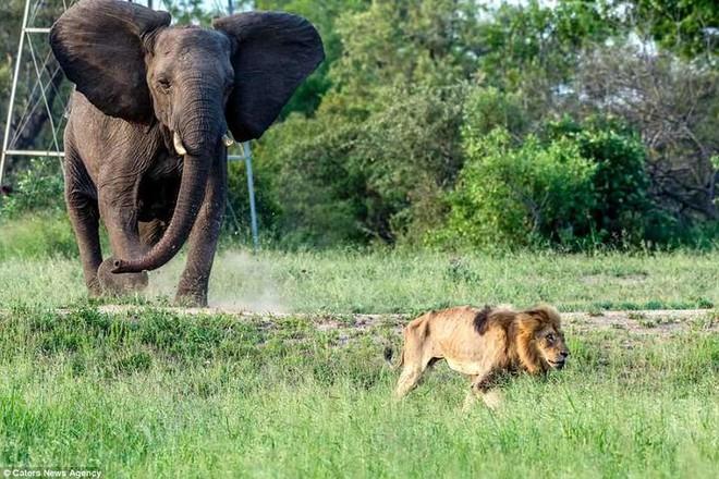 Chùm ảnh: khoảnh khắc cuối đời của vua sư tử Skar từng ngự trị đồng cỏ Nam Phi - Ảnh 9.