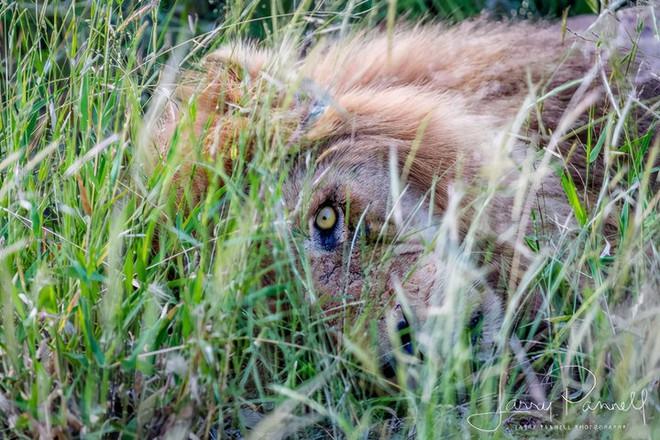 Chùm ảnh: khoảnh khắc cuối đời của vua sư tử Skar từng ngự trị đồng cỏ Nam Phi - Ảnh 10.