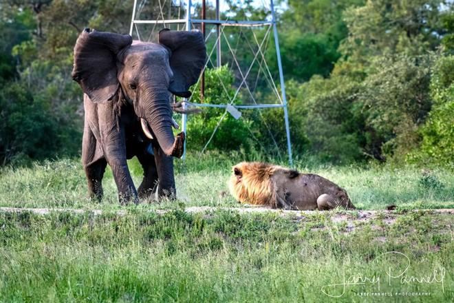Chùm ảnh: khoảnh khắc cuối đời của vua sư tử Skar từng ngự trị đồng cỏ Nam Phi - Ảnh 7.