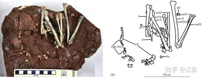 Phát hiện loài động vật hai ngón chuyên ăn cắp trứng khủng long - Ảnh 5.