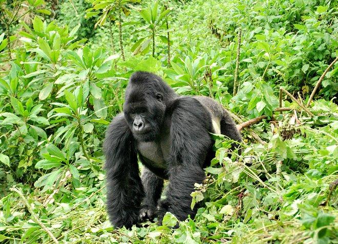 Sau 500 lần quan sát khỉ đột đập ngực, đã có câu trả lời tại sao chúng làm vậy 002