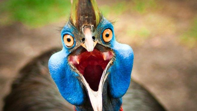 Cassowary: Loài chim nguy hiểm nhất hành tinh, ngay cả quân đội cũng phải nể sợ chúng vài phần - Ảnh 11.