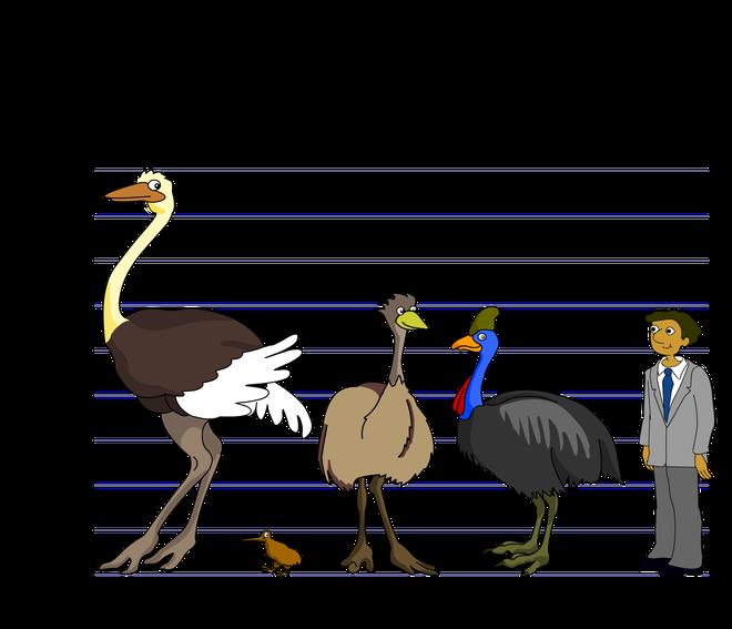 Cassowary: Loài chim nguy hiểm nhất hành tinh, ngay cả quân đội cũng phải nể sợ chúng vài phần - Ảnh 6.