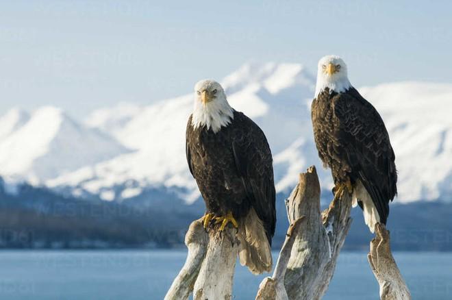 Đại bàng đầu trắng đã từng trở thành con mồi của những thợ săn tiền thưởng tại Mỹ - Ảnh 4.
