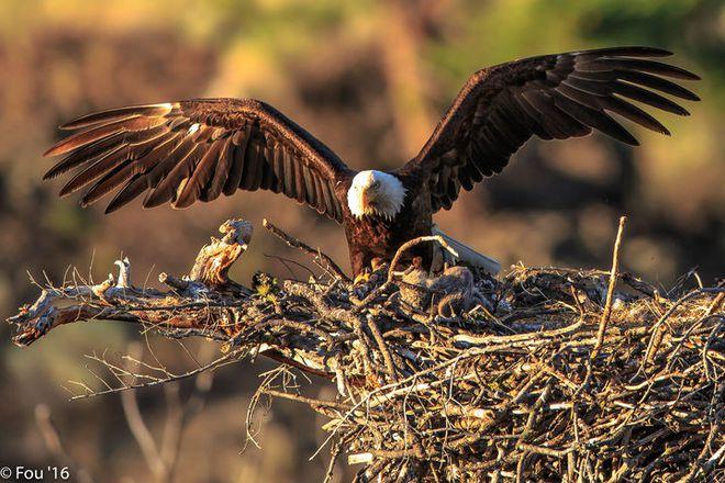 Đại bàng đầu trắng đã từng trở thành con mồi của những thợ săn tiền thưởng tại Mỹ - Ảnh 9.