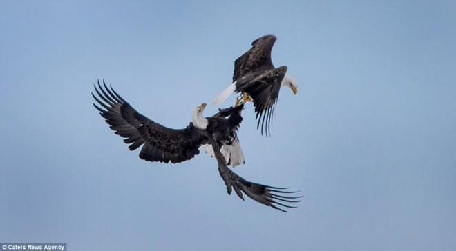Đại bàng đầu trắng đã từng trở thành con mồi của những thợ săn tiền thưởng tại Mỹ - Ảnh 11.