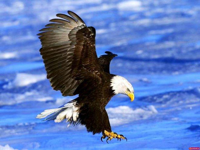 Đại bàng đầu trắng đã từng trở thành con mồi của những thợ săn tiền thưởng tại Mỹ - Ảnh 1.