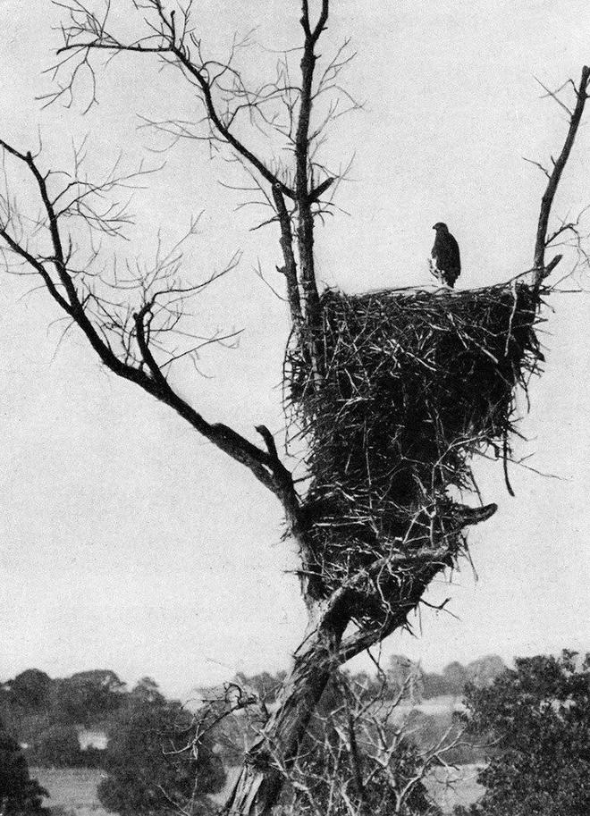 Đại bàng đầu trắng đã từng trở thành con mồi của những thợ săn tiền thưởng tại Mỹ - Ảnh 10.