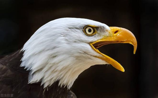 Đại bàng đầu trắng đã từng trở thành con mồi của những thợ săn tiền thưởng tại Mỹ - Ảnh 2.