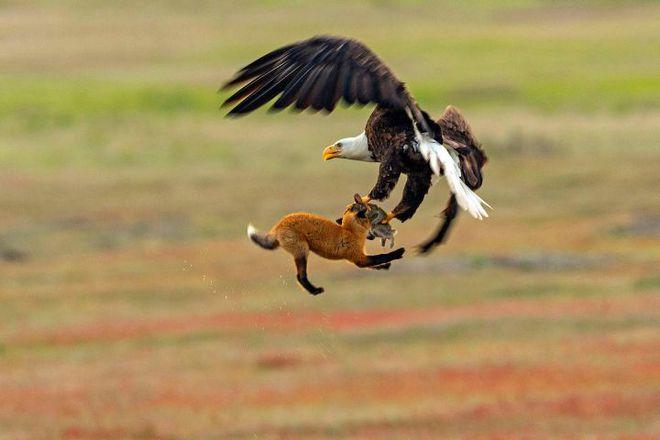 Đại bàng đầu trắng đã từng trở thành con mồi của những thợ săn tiền thưởng tại Mỹ - Ảnh 6.