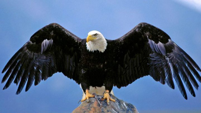 Đại bàng đầu trắng đã từng trở thành con mồi của những thợ săn tiền thưởng tại Mỹ - Ảnh 3.