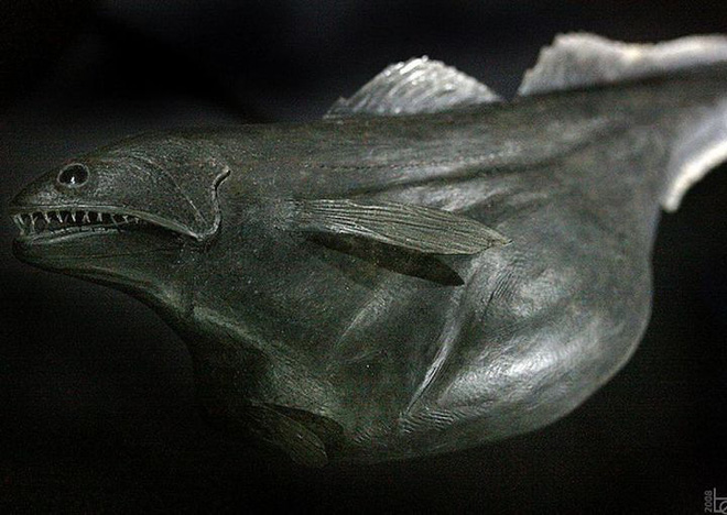 Chiasmodon niger: Ác mộng dưới đáy biển sâu - Ảnh 2.