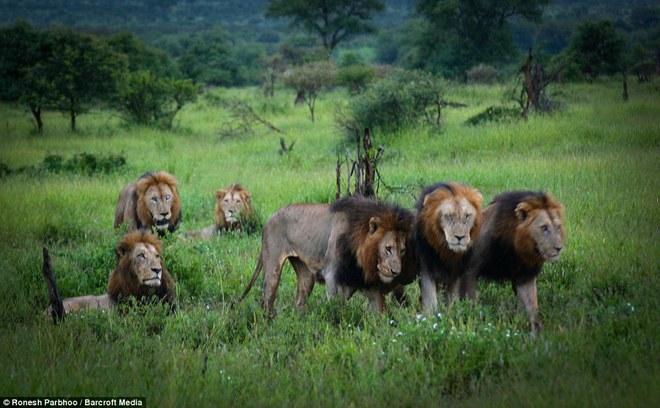Mapogo: Liên minh 6 con sư tử đực thống lĩnh đồng cỏ Châu Phi - Ảnh 6.