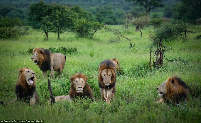 Mapogo: Liên minh 6 con sư tử đực thống lĩnh đồng cỏ Châu Phi - Ảnh 7.