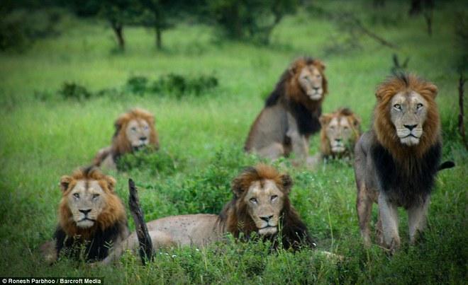 Mapogo: Liên minh 6 con sư tử đực thống lĩnh đồng cỏ Châu Phi - Ảnh 1.